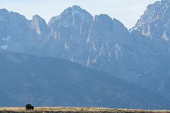 500_1470 (DianeBerky19) Tags: nikond500 mountains bison jacksonholewyoming tetons summitnatureworkshop 2016
