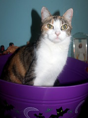 Patches Calico photo of the day 10/19/2016 (Patches Madison) Tags: patches calico cute sweet