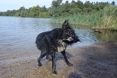Drying off (raindog) Tags: dryingoff lake sony rx100m3 virginiawater rufus dog