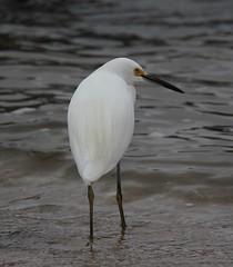 Snowy Egret (Egretta thula) 10-08-2016 9119 Bay Avenue North Beach, Calvert Co. MD 1 (Birder20714) Tags: birds maryland egrets ardeidae egretta thula