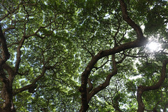 Canopy (Blinking Charlie) Tags: treecanopy sun lensflare honolulu hawaii royalhawaiian sonydscrx100m3 usa 2016 blinkingcharlie lookingup banyantree waikiki waikk