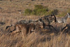 10078078 (wolfgangkaehler) Tags: 2016africa african eastafrica eastafrican kenya kenyan masaimara masaimarakenya masaimaranationalreserve wildlife migration migrating antelope antelopes gnu wildebeestmigration wildebeest wildebeestherd wildebeests zebras plainszebrasequusquagga burchellszebra burchellszebraequusquagga burchellszebras grassland grasslands