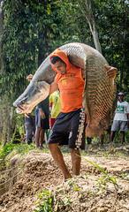 Arapaima gigas | Pirarucu (hugocmcosta) Tags: amazon amazonas amazonia arapaima extractivereserve floodplain vã¡rzea fish fisheries freshwater