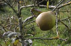 Apple Lemon Pippin (Steeple Ducks) Tags: apple lemon pippin