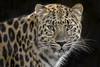 The Lovely Liski (Penny Hyde) Tags: amurleopard bigcat leopard sandiegozoo flickrbigcats