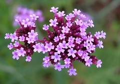 Sdamerikanische Verbene (Verbena bonariensis) (to.wi) Tags: rosa staude pink towi blume flower blte blossom sdamerikanischeverbene verbenabonariensis verbene verbena