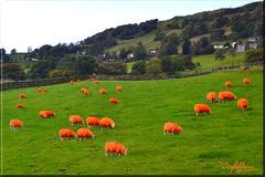 They've Been Tango'd (Box Brownie Brian) Tags: orange sheep lamb flock coat fleece antitheft antirustle security troutbeck kirkstonepass a592 cumbria lakedistrict boxbrowniebrian nikon animal woolly farm livestock ewe tangod