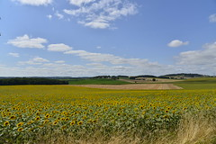 Immenses champs de tournesols (Flikkersteph -4,000,000 views ,thank you!) Tags: rural landscape nature summer beautiful plantation sunflowers countryside fields clearsky champagneetfontaine prigord france