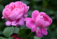 Weekend Roses (Eleanor (No multiple invites please)) Tags: roses pinkroses busheyrosegarden bushey uk nikond7200 september2016