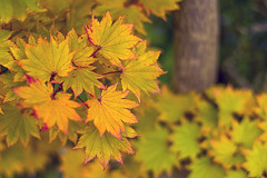 Full Moon Maple (pollylew) Tags: autumn colour light leaves acer