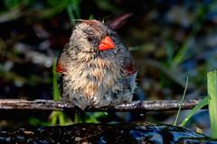 2016 Very Wet Cardinal 9 (DrLensCap) Tags: very wet cardinal montrose point bird sanctuary chicago illinois il northern robert kramer