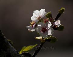 Cherry Blossom Bokeh 3 (C & R Driver-Burgess) Tags: blossom spring bokeh twigs leaves sunshine