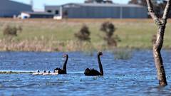 Swans and Cygnets (blachswan) Tags: winterswamp mullahwallahwetlands wetland wetlands ballarat victoria australia lucas cygnusatratus cygnets cygnet water spring