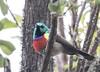 Northern Double-collared Sunbird (Laura Erickson) Tags: africa uganda birds northerndoublecollaredsunbird nectariniidae passeriformes species places volcanoesgahingasafarilodge cinnyrisreichenowi