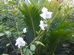 Brunfelsia lactea (tanetahi) Tags: fragrant white flower solanaceae brunfelsia brunfelsialactea brisbane