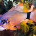 Ringtailed Cardinalfish incubating eggs - Ostorhinchus aureus