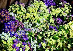 Prielwiese im Frhjahr, 75244/7575 (roba66) Tags: blumen blume blten flower blossom roba66 fleur flori flor flora flores bloem plants pflanzen primel spring frhjahr