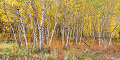 Colorful Aspen Tree Forest For Panorama View (Striking Photography by Bo Insogna) Tags: colorado aspentrees forest woods rockymountains bouldercounty autumn fall foliage seasons nature landscapes colorful red orange jamesinsogna countryside travel fineartphotography underbrush