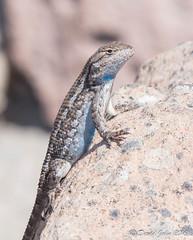 Great Basin Fence Lizard (Sceloporus occidentalis longipes) (David A Jahn) Tags: great basin fence lizard sceloporus occidentalis longipes oregon rock basking klamatha county phrynosomatidae