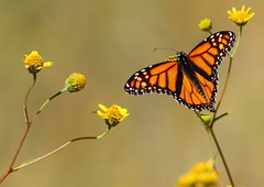 Monarch Butterfly #356 c (Az Skies Photography) Tags: october 9 2016 october92016 10916 1092016 insect flying butterfly flyinginsect macro canon eos rebel t2i canoneosrebelt2i eosrebelt2i madera canyon arizona az maderacanyon maderacanyonaz wildlife sonoran desert sonorandesert monarch monarchbutterfly danaus plexippus danausplexippus