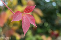 Fall bokeh (Rom4rio Photography) Tags: nikon nikkor nikond3100 nature color colorful bokeh beautiful autumn amateur amazing outdoor leaves red yellow green interesting awesome atmosphere composition lonely flickr