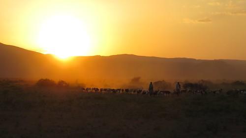 Djibouti_2015 - Retour des troupeaux à Andaba