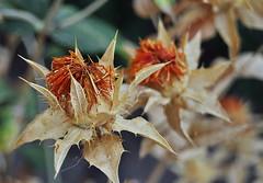 Färberdistel / Safflower / Saflor (Bernd Kretzer) Tags: färberdistel safflower saflor blume flower blüte blossom makro macro opteka macrolinse 10x