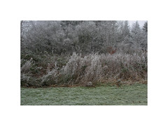 Frost. Gatten (Northern Jutland), Denmark (2008) (csinnbeck) Tags: winter frost denmark dk 9600 aars gatten hornum sjørup sø jylland jutland nature garden brush bush shrubbery cold ice bleak 40d eos canon 1740mm 1740 2008 december grass green
