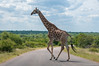 Crossing the road (Renzo Ottaviano) Tags: krugerpark mpumalanga sudafrica south africa giraffe renzo lorenzo ottaviano