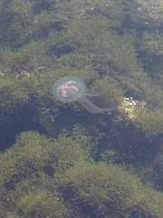 Dans le Port des Lecques - by Martine (Hlne_D) Tags: hlned france provencealpesctedazur provence paca var saintcyrsurmer stcyrsurmer stcyrmer leslecques mermditerrane mediterraneansea mditerrane sea mer port harbor mduse jellyfish
