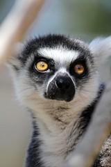 20-11-2016-taronga 447 (tdierikx) Tags: tarongazoo taronga tdierikx lemur 20112016taronga