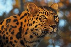 Amur Leopardess & Mother in the Winter Sun (mark f2.9) Tags: amur mother winter sunight
