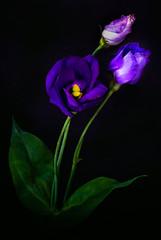 Dark purple beauty (Olof Virdhall) Tags: flower purple beautiful beauty coloursonblack canon eos5 mkiii olofvirdhall cffaa