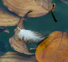 Pool of Nature. (Omygodtom) Tags: macro macromonday raindrop feather tiny park pond outdoors dof d7100 nikon70300mmvrlens weather digital star diamond