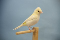 Pinzn bruno opal (aviarioabellan) Tags: fauna europea mutada