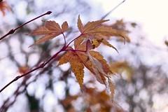 Hanging still (Englepip) Tags: acer leaves hanging macro bokeh