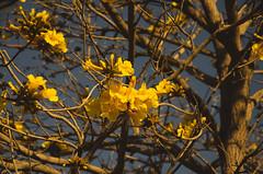 Ip amarelo. (rodengelet) Tags: ip amarelo brazil nikon d7000 piraju america do sul rodrigovasconcellossilvarvs brasilbrazil brasilemimagens fotografemelhor fotografosbrasileiros fotografo americadosul flickr flickrglobal
