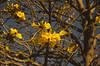 Ipê amarelo. (rodengelet) Tags: ipê amarelo brazil nikon d7000 piraju america do sul rodrigovasconcellossilvarvs brasilbrazil brasilemimagens fotografemelhor fotografosbrasileiros fotografo americadosul flickr flickrglobal