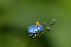 """Blauwe bladsprietkever"" (Hoplia coerulea) (Frank Berbers) Tags: insect beetle frankrijk käfer kever coleoptera ardèche scarabaeidae scarabs hopliacoerulea blatthornkäfer bladsprietkever"