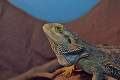DSC_8521_2048 (a.marquespics) Tags: zeka pogonavitticeps amarques nikon d600 2880mm reptil drago dragon beardeddragon dragobarbudo reptile australia