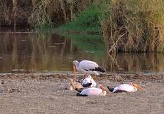 Tanzania (Serengeti National Park) Resting yellow-billed storks