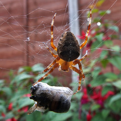 Spiders packed Lunch (David Fergus, Photographer) Tags: copyright david macro insect spider photographer web fergus spidersweb staffordshire burntwood fujix10 davidfergus