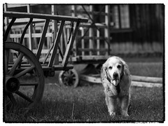Nick  On His 14th Birthday (Eline Lyng) Tags: leica hay wagon old haywagon norway norwegian museum dog retriever goldenretriever animal portrait animalportrait leicamonochrom aposummicron75mmf2 manualfocus littledoglaughedstories littledoglaughednoiret