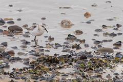 Sanderling (Steve Nelmes Photography) Tags: birds southwales wales wildlife waterbird avian sanderling wader southwalesvalleys coastalbird stevenelmesphotography canon7dmk2 canon100400ismk2