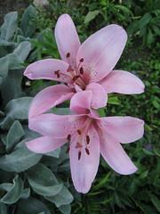 (Vladimir Kiryanov) Tags: flowers nature beautiful russia