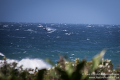 Distant whale watching at Southbroom, South Africa