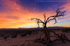 Dead tree with sunset glow (james c. (vancouver bc)) Tags: california wood old travel blue red sky orange sunlight black hot tree tourism nature silhouette landscape dead death sand scenery branch glow unitedstates desert outdoor sandy dune dry shaddow adventure valley drought heat remote deathvalley lonely desolate acacia arid tranquil deathvalleynationalpark mesquitedunes
