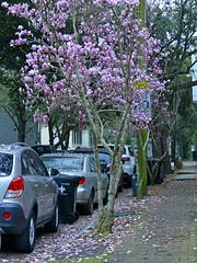 Nature Makes Pink (BKHagar *Kim*) Tags: auto trees brick cars la louisiana neworleans sidewalk magnolia nola blooms tuliptree bkhagar