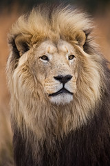 The King (lucien_photography) Tags: africa portrait animal closeup cat southafrica lion bigcat theking carnivore afrique fauve pantheraleo sigma150600