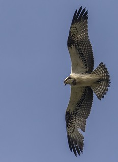 Osprey - Pandion haliaetus (Explored #218)